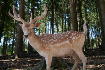 Lázeňské lesy Karlovy Vary přistoupily preventivním opatřením. Zásady (ne)krmení zvěře v oborách