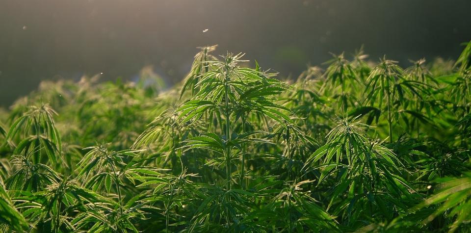 Prodával marihuanu. Nyní mu hrozí až desetileté vězení