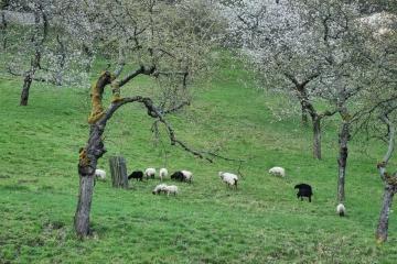 Karlovy Vary - Ovce jsou zpátky v třešňovém sadu